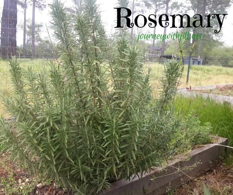 Rosemary - Favorite Herbs | Journey with Jill