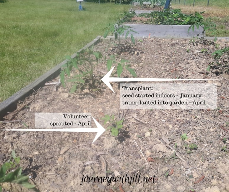 Comparison of tomato started indoors from seed and a volunteer tomato plant in raised bed | Journey with Jill