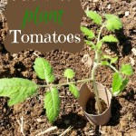 How to Plant Tomatoes in 11 Easy Steps