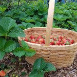 How to Get a Bumper Crop of Strawberries Next Season