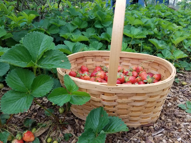 How to Get a Bumper Crop of Strawberries | Journey with Jill