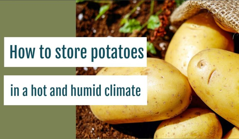 How to Store Potatoes in a Hot and Humid Climate