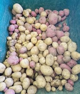 Potato Harvest | Journey with Jill
