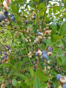 Blueberry Harvest | Journey with Jill