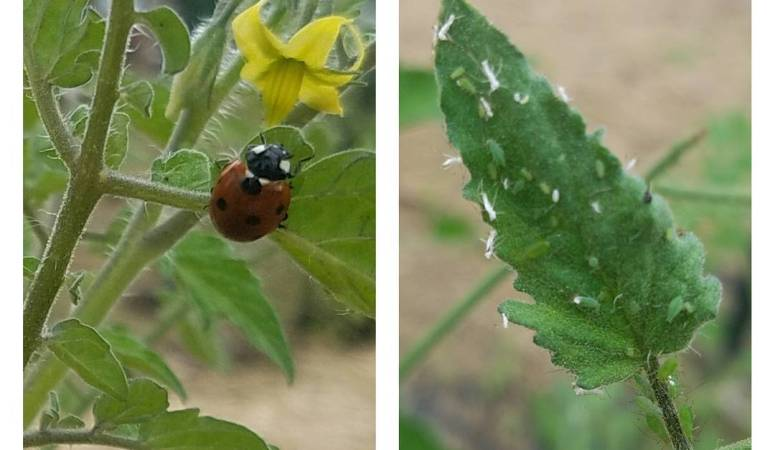 How to Control Aphids Naturally and Effectively {Beginner's Garden Podcast}