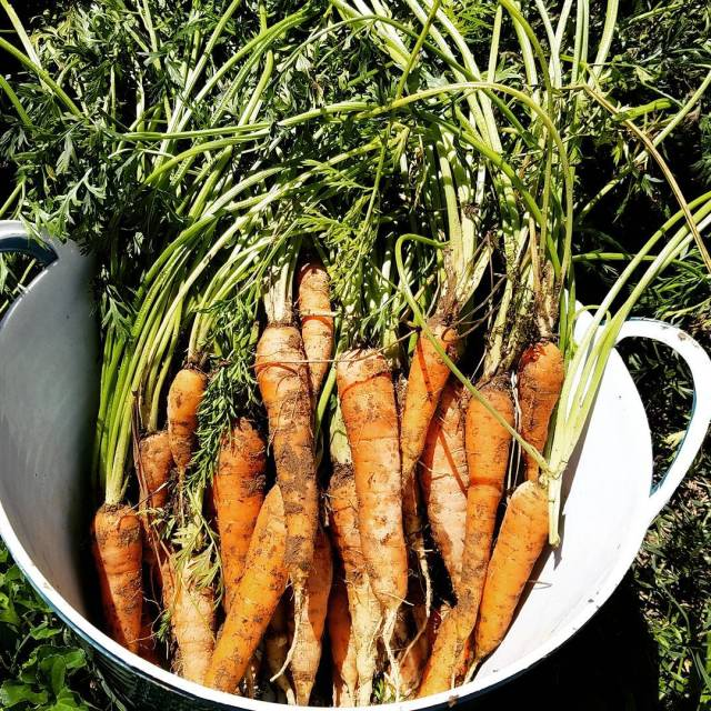Spring carrot harvest has begun! These were grown in ahellip