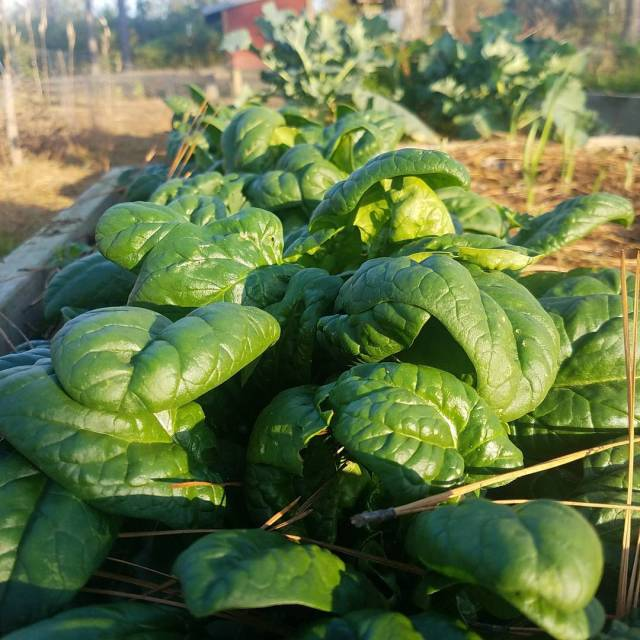 Spinach is doing great! It has taken several seasons forhellip