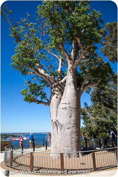 Boab tree at Kings Park, Western Australia