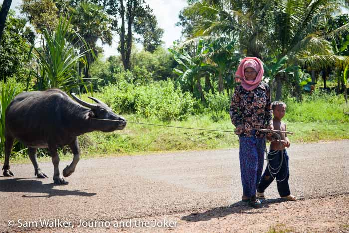 Walking a water buffalo