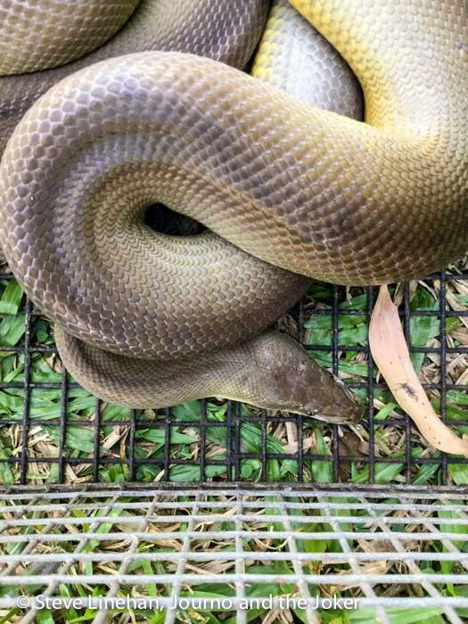 Golden python, Northern Territory