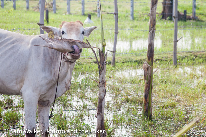 The cows from Karl's Cambodian Cow Club have plenty of personality