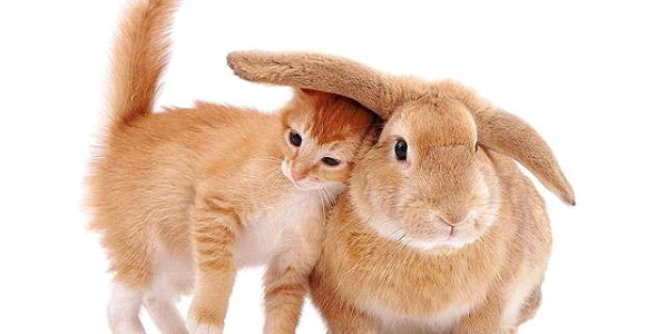 gato-coelho