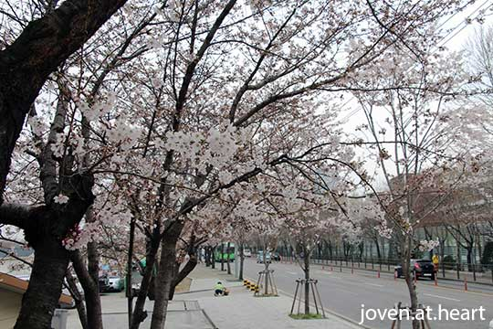Cherry Blossoms @ Hangang Park, Yeouido