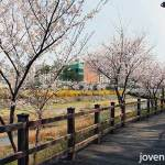 Cherry Blossoms @ Bundang