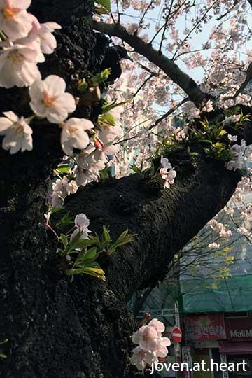 Cherry Blossoms @ Busan