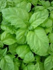 Basil-Lettuce-Leaf