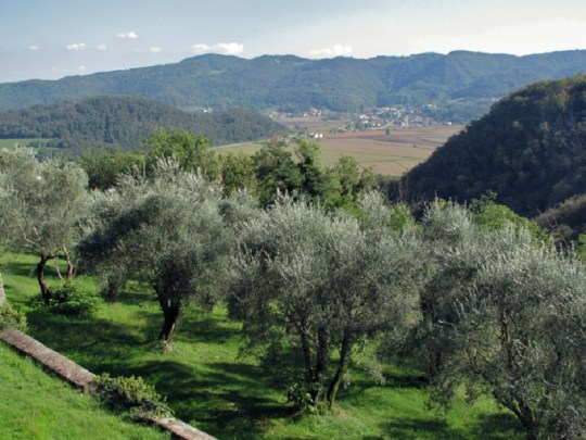 Umbrian Olive Orchards
