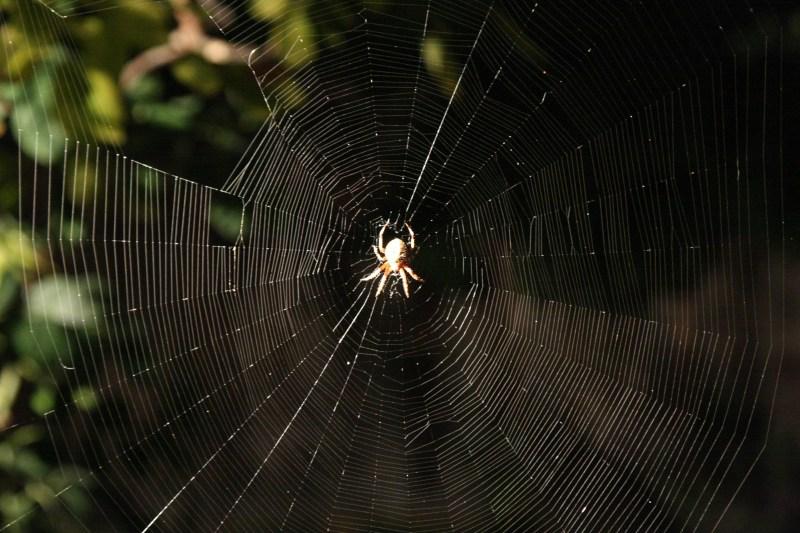 Araneus_diadematus_web_1.jpg