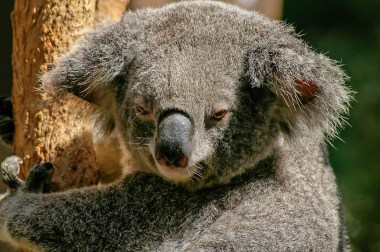 koala-446876_1280