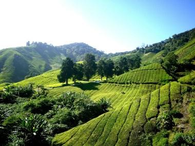 tea-plantation-261515_1280