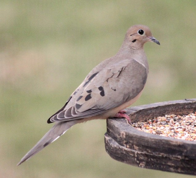 Mourning dove, 4-2-10 3001