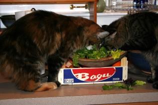 Salad_cats