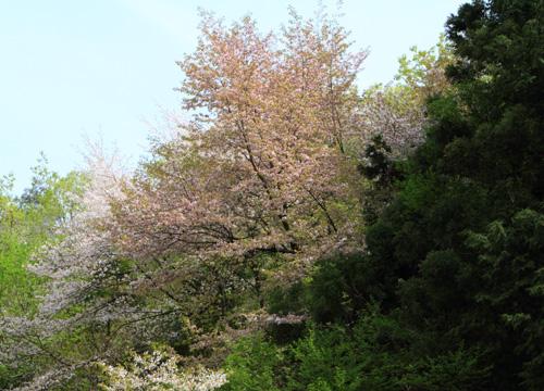 yamazakura2