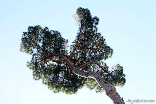sky-high pine trees