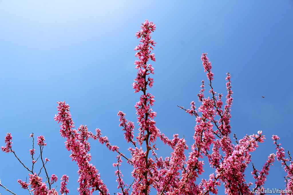pink tree blue sky no clouds Thalori Crete Greece