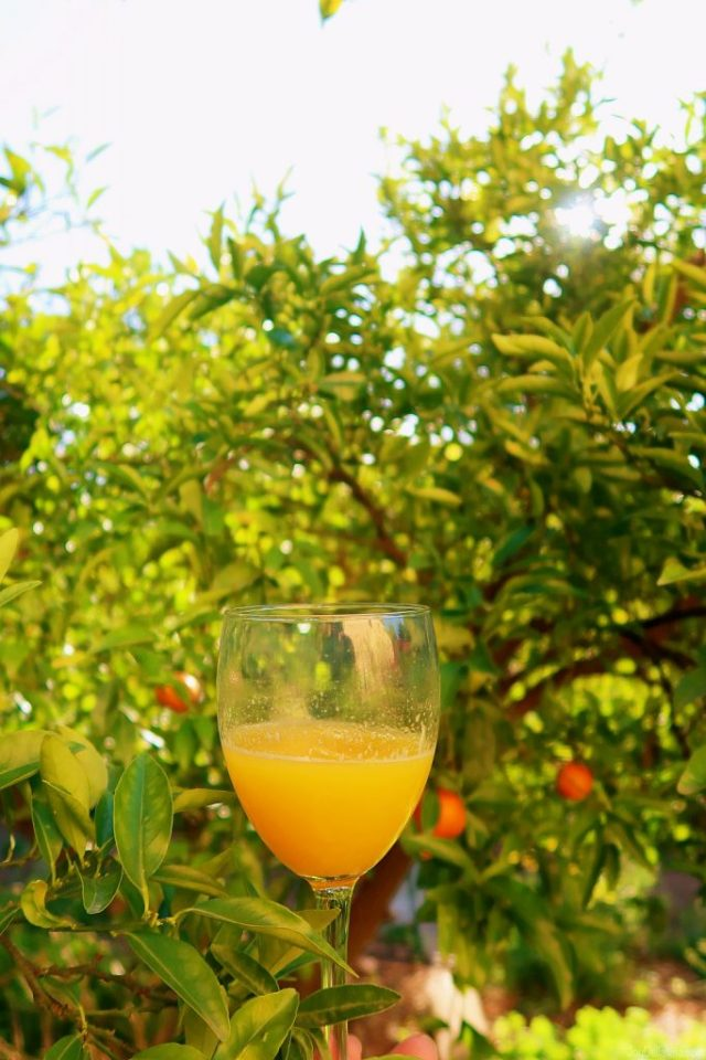 fresh orange juice and orange trees in Burriana