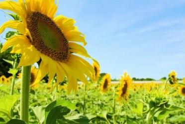 sunflower lookin gat the sun