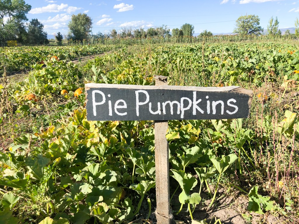 Picking out pie pumpkins at the Covered Bridge Pumpkin Patch