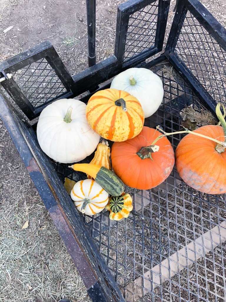 My selection of pumpkins from the Covered Bridge Pumpkin Patch