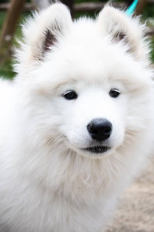 Myra the samoyed puppy