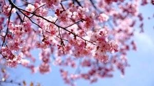 Photo de cerisier en fleur au Japon