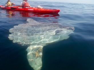 Sunfish during my sea kayak tour off of Betty Island, Lower Prospect, Nova Scotia.