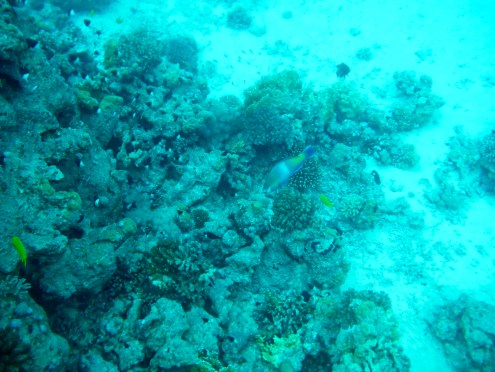 School of Half and Half Chromis and a Wrasse (?)