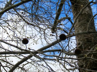 These trees have these crazy round buds that hang like Christmas ornaments!!
