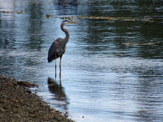 Great Blue Heron along the cove at Liz's.