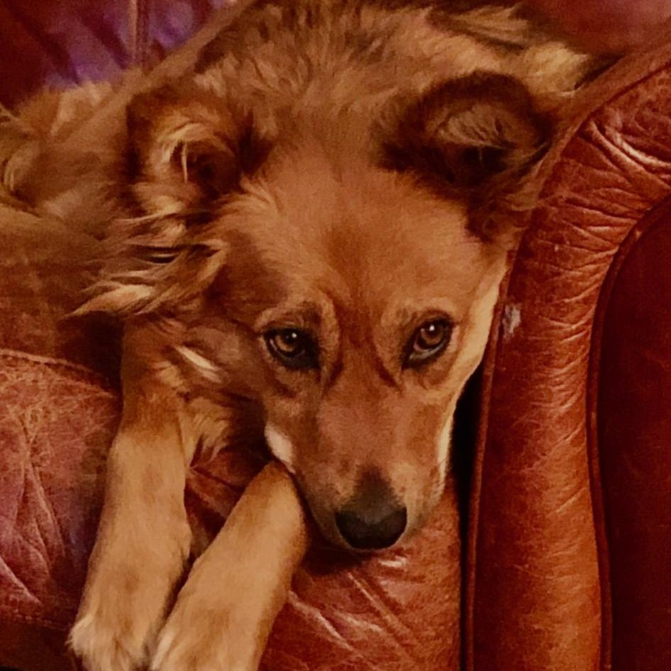 Daisy a red colored dog on brown couch