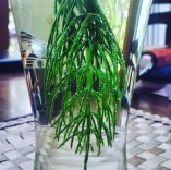 Freshly picked Horsetail infused water