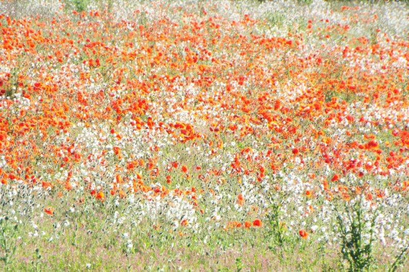 限りなく広がる花