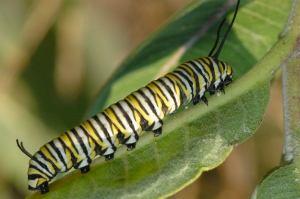 020_caterpillar_monarch_0079