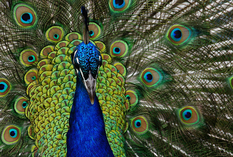 For all their beauty, peacocks are becoming an invasive species.