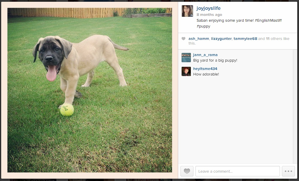 #Saban in the yard #Joyslife #Instagram #EnglishMastiff #puppy