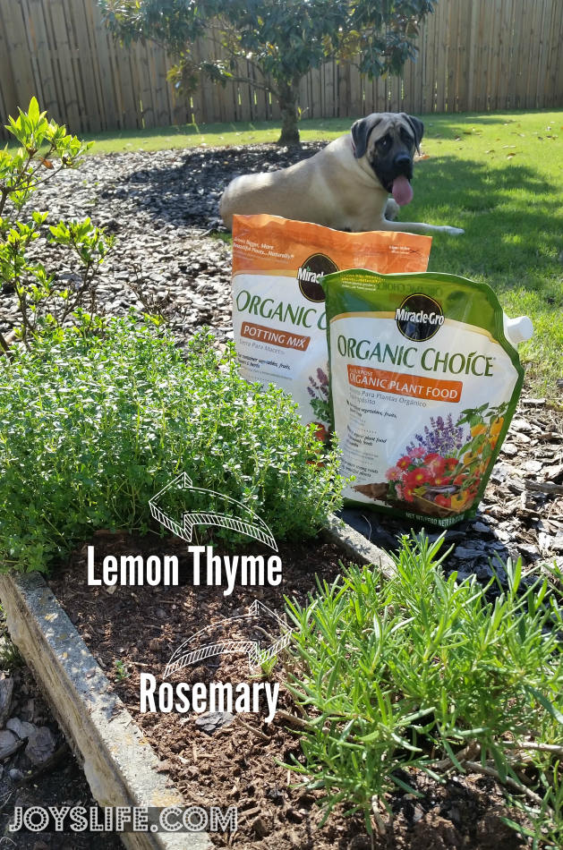 Rosemary & Thyme Butter Recipe from Our Herb Garden Plus a Garden Update #OrganicChoice #HerbButter #Recipe #Garden #ContainerGardening