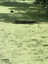 Magnolia Plantation - alligator2