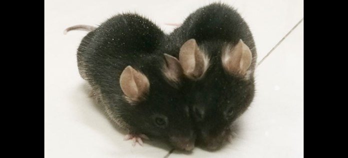 파라바이오시스 쥐