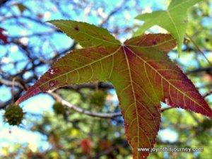 reddish locust leaf