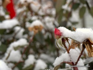 snow on rose